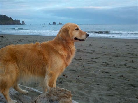 pacific golden retrievers kaia the golden retriever master canine agility chion motley dogs