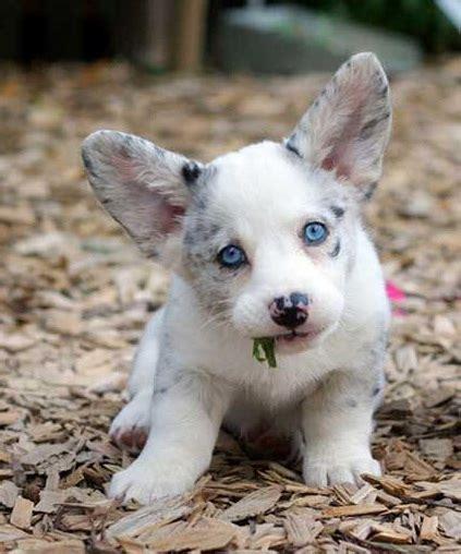 Cardigan Corgi Puppy Pictures mr puppy pictures