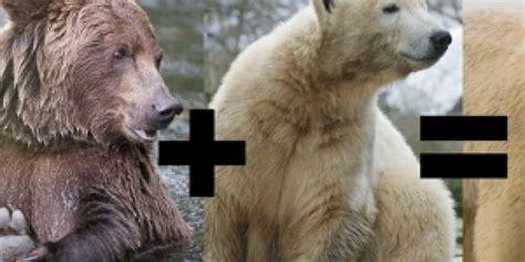 fotos animales hibridos reales parece imposible pero se consigui 243 cruzar un oso polar