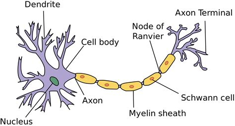 diagram of a brain cell neuron definition what is