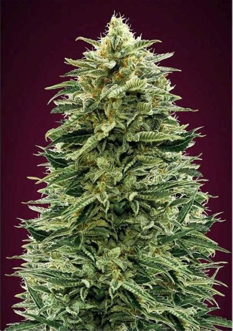 auto amnesia autoflowering marijuana seeds