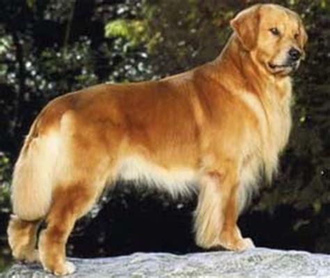 golden retriever breed standard standard golden retriever breeds picture
