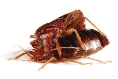 male bed bug the last word on nothing tgipf the bed bug and his