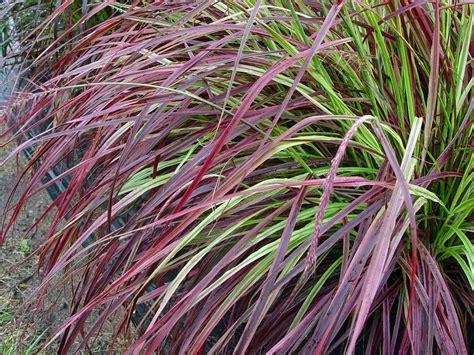 fountain grass fireworks garden housecalls