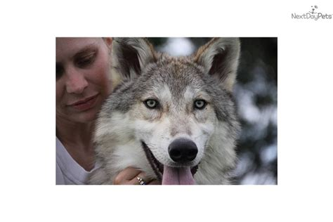 wolf hybrid puppies for sale in ohio wolf hybrid dogs for sale ohio images
