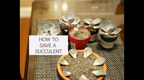 how to save a dying plant how to save a dying succulent plant youtube