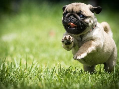 running pugs wallpaper running pug photos and free walls