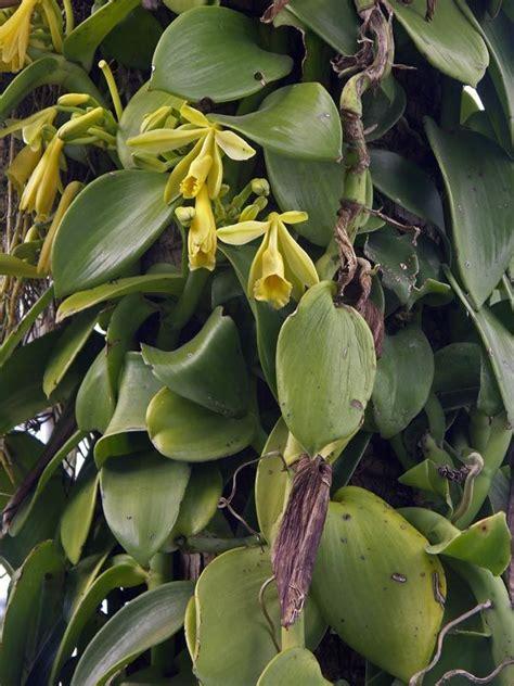 wild vanilla  fertilized  plant produces