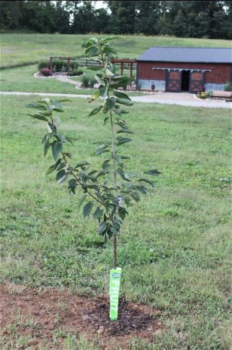 planting fruit trees in fall how and why to plant fruit trees in the fall