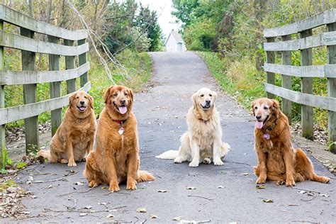 golden retriever fly recipe days goldens in the fall modish