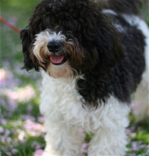 can havanese be left alone the havanese page 2