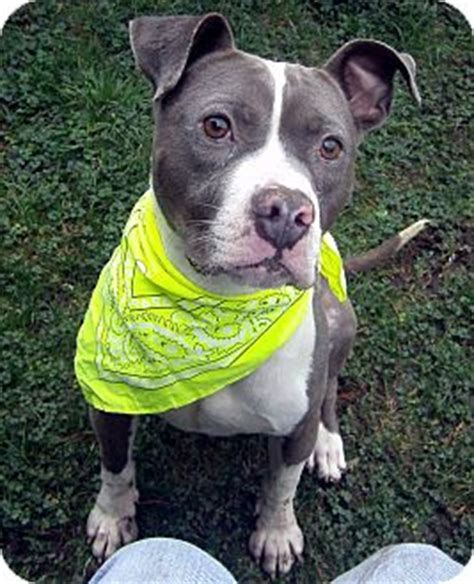 pitbull puppies oregon portland or american pit bull terrier mix meet grayson a for adoption