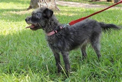 worlds largest yorkie meet tiny a petfinder adoptable terrier yorkie joplin mo petfinder