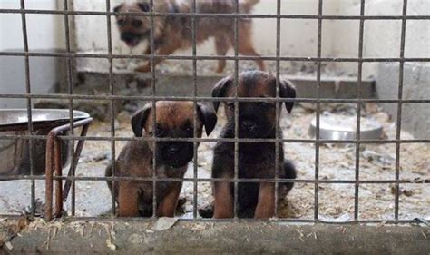 puppy farm plight of the poor puppies bred in cred and battery farms uk news