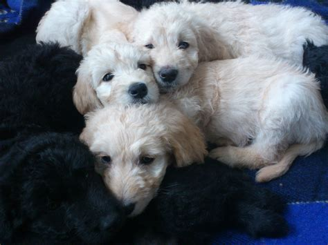 F1 Goldendoodle Boy Puppy Black Silver For Sale Adoption