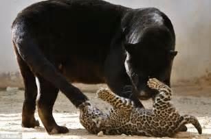 What Eats Jaguars How Do I Change My Spots Jaguar Cub Gives His