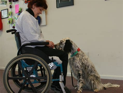 english setter therapy dog kaliber english setters
