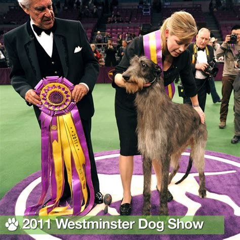 winner of westminster show pictures of 2011 westminster show winners popsugar pets