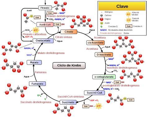 cortisol wikipedia la enciclopedia libre ciclo de krebs wikipedia la enciclopedia libre