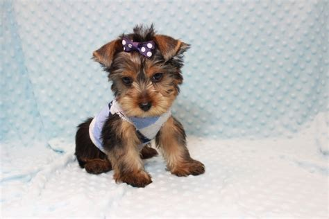 teacup yorkies for sale in las vegas teacup yorkie puppies for sale in las vegas
