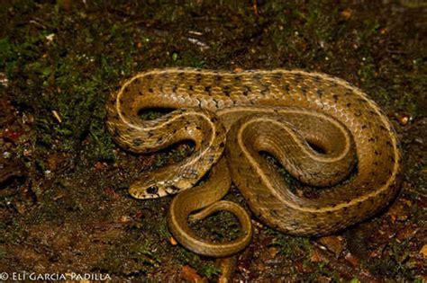 Garter Snake Venom Effects Thamnophis Lineri Snakedatabase Org