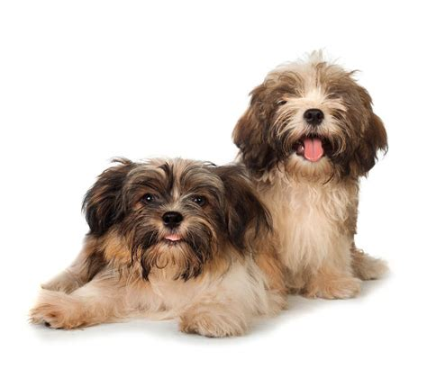 havanese origin havanese dogs breed information omlet