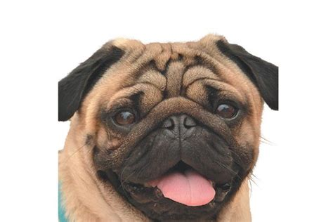 white pug health problems health issues for brachycephalic or flat faced dogs