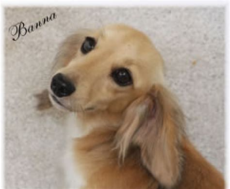 dachshund puppies sc dachshund puppies for sale in carolina louie s miniature dachshunds