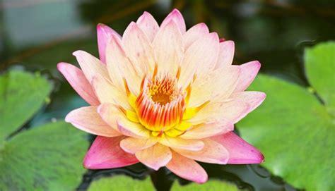 fiori di loto fiori di loto propriet 224 e benefici anche per i bambini