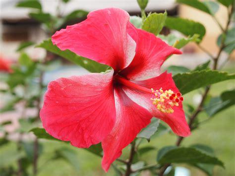 Flower Bunga file bunga raya merah jpg wikimedia commons