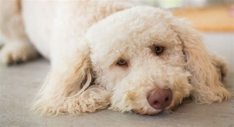Hypoallergenic Non Shed Dogs by Hypoallergenic Dogs For Adoption Pets World