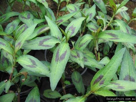 Wholesale Fruit Trees - vietnamese mint persicaria odorata