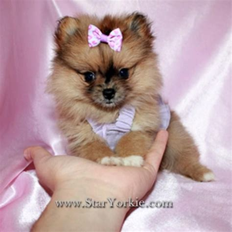 why does my yorkie make grunting noises mini yorkie puppies for sale tiny teacup puppies available now yorkies maltese