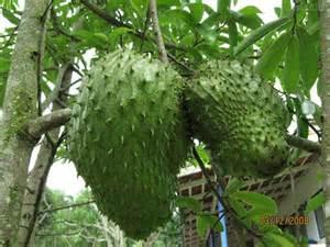 herbs and plants for healing longevity health healing - Graviola Tree Fruit Where To Buy