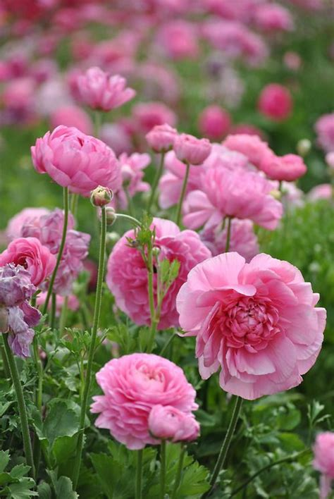 Flowers From The Garden Pink Ranunculus Fields Flowers Trees