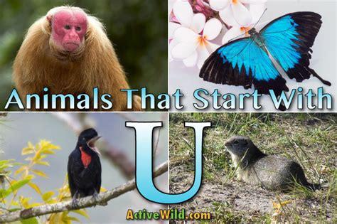 animals that start with u list of amazing animals