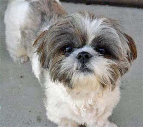 how much are shih tzu dogs the shih tzu dogs daily puppy