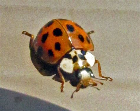asian beetle dogs asian beetle pictures to pin on thepinsta