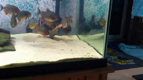 Fish Tank Bed Piranha Tank Feeding Youtube