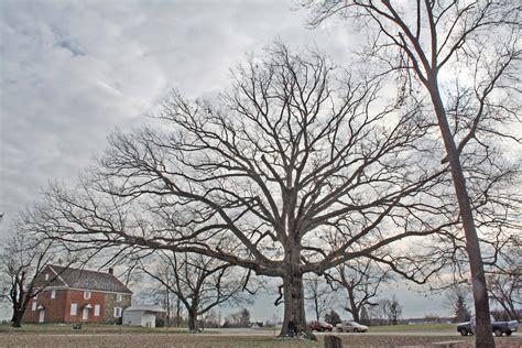 trees maryland md big trees