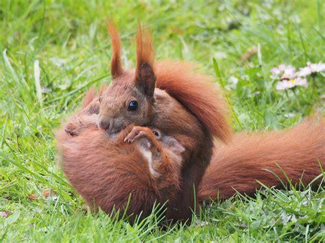 wo schlafen eichhörnchen file eichh 246 rnchen sciurus vulgaris jpg wikimedia commons