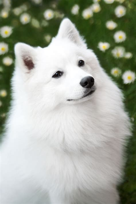 japanese spitz puppies beautiful japanese spitz photo and wallpaper beautiful beautiful japanese spitz