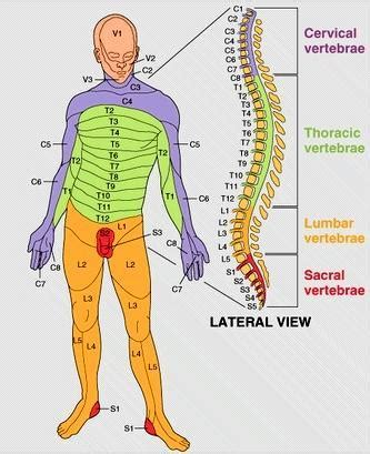 spinal cord injury diagram thombiology30 nervous system