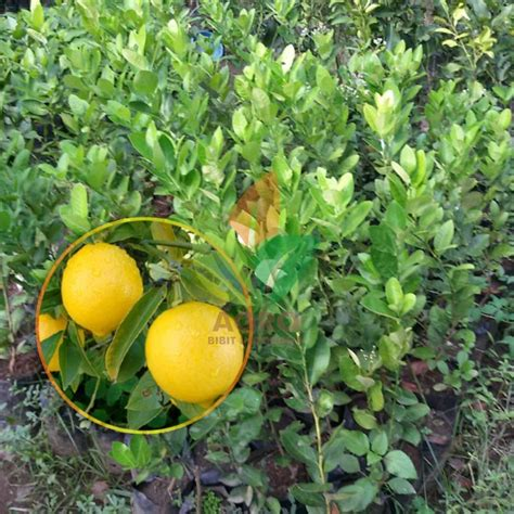 Bibit Buah Jeruk Lemon jual bibit jeruk lemon hawai jumbo
