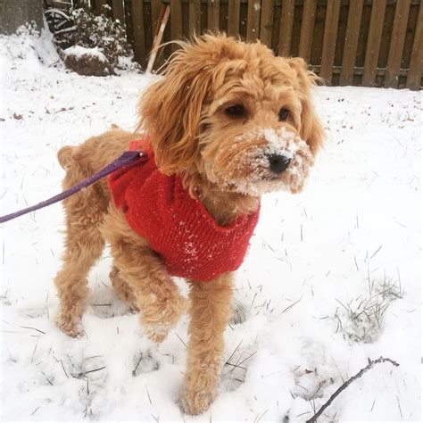 cockapoo golden retriever mix 17 best images about animals on spaniels puppys and kittens