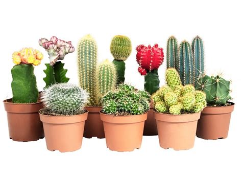 common houseplant cactus 34 poisonous houseplants for dogs plants toxic to dogs