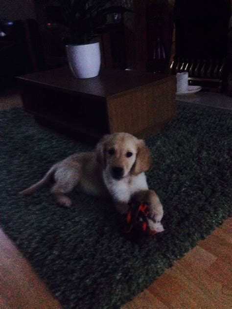 18 week golden retriever 11 week golden retriever for sale bromsgrove worcestershire pets4homes