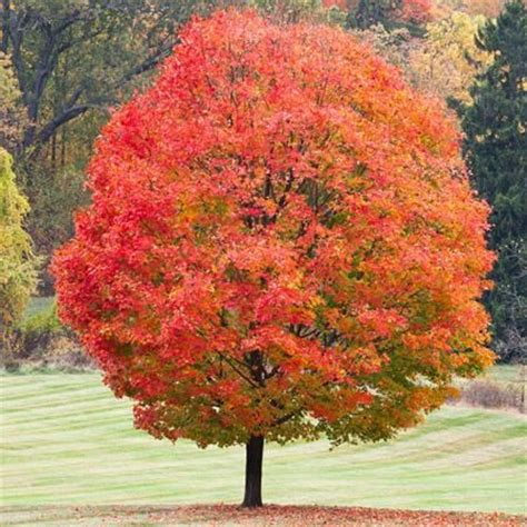 maple tree growing conditions gc6t19a sugar maple traditional cache in new york united states created by k e t