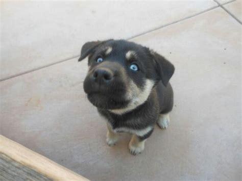 siberian rottweiler blue eyed rottweiler siberian husky lab puppy cuute animals