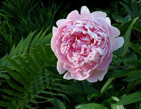 fiore peonia peonia